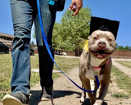 Walking a dog with a graduation cap